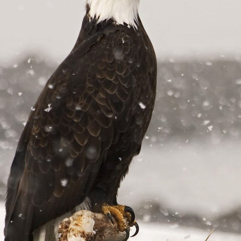 10 Best Eagle Wallpaper For Android FULL HD 1920×1080 For PC Desktop 2020 free download majestic bald eagle alaska pinteres 800x800