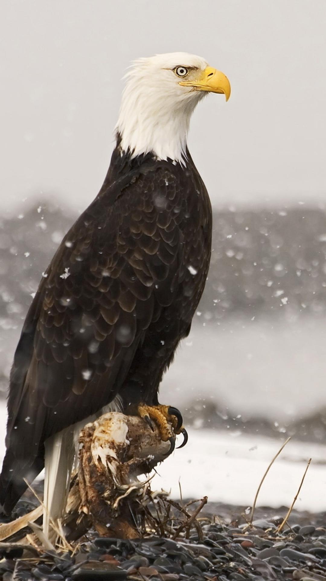 majestic bald eagle - alaska …   pinteres…