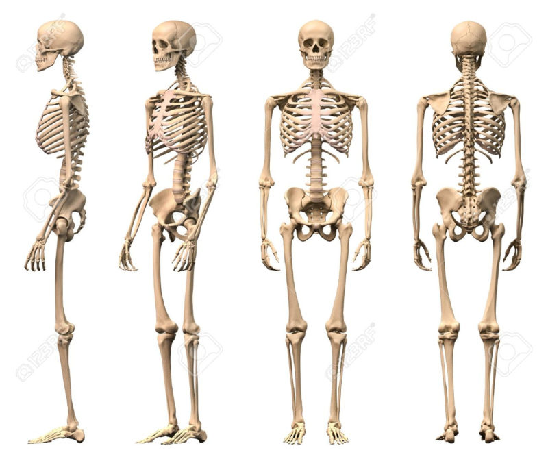 10 Most Popular Human Skelton Pictures FULL HD 1080p For PC Desktop 2020 free download male human skeleton four views front back side and perspective 800x673
