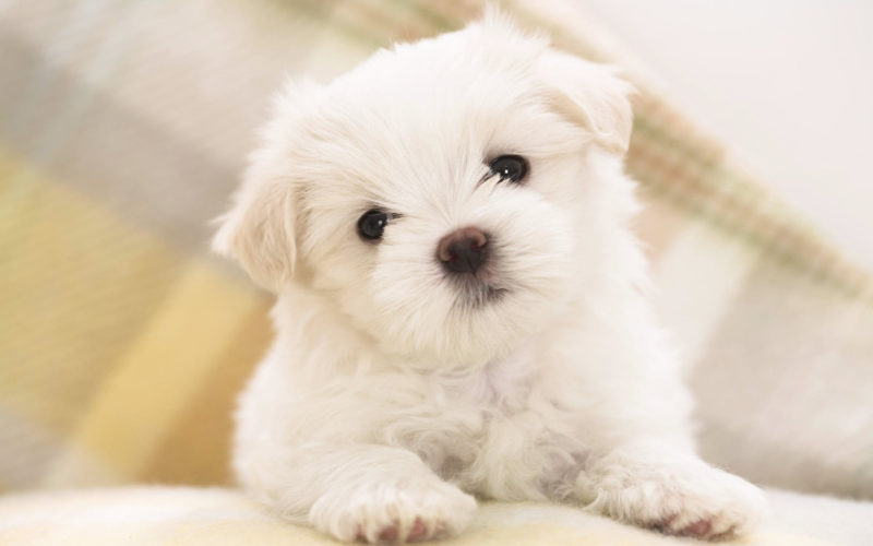 10 Latest 3D Puppy Wallpaper FULL HD 1920×1080 For PC Background 2018 free download maltese puppy wallpapers hd wallpapers id 8160 800x500
