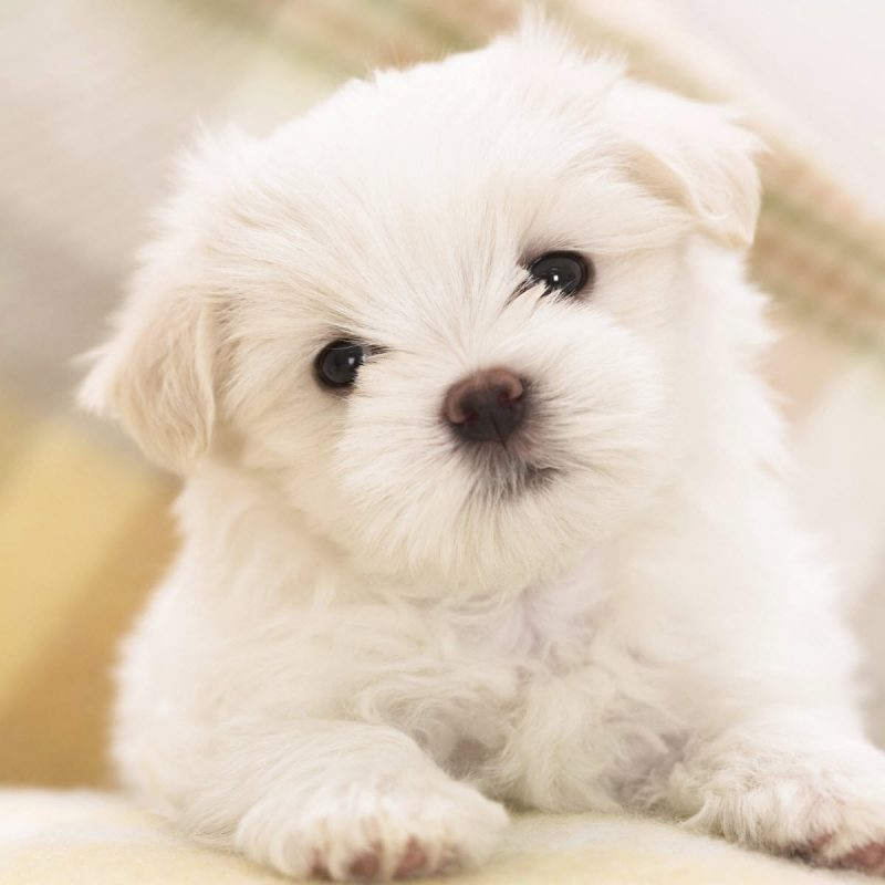 10 Top Puppies Wallpapers Free Download FULL HD 1080p For PC Background 2018 free download maltese puppy wallpapers in jpg format for free download 1 800x800