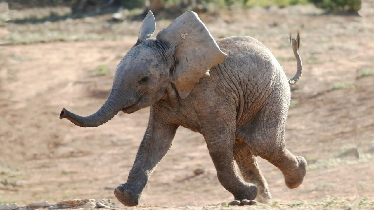 most funny and cute baby elephant videos compilation (2016) - youtube