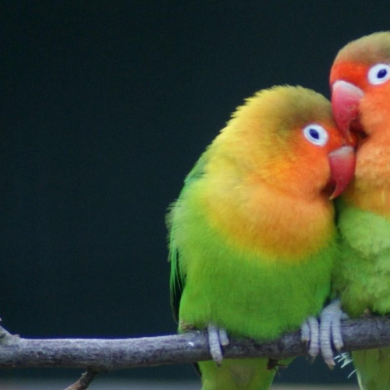 10 Top Images Of Love Bird FULL HD 1920×1080 For PC Background 2020 free download multicolor birds animals parrots love bird wallpaper 39882 800x800