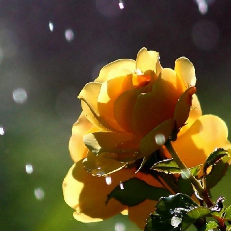 10 Best Rain Wallpaper Hd For Mobile FULL HD 1920×1080 For PC Desktop 2021 free download nature flowers in the rain wallpaper 13311 800x800