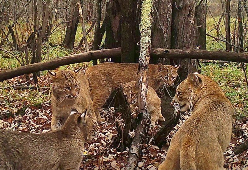10 New Image Of Bobcat FULL HD 1080p For PC Desktop 2021 free download nature nut can you believe a bobcat was seen in rochester 800x550