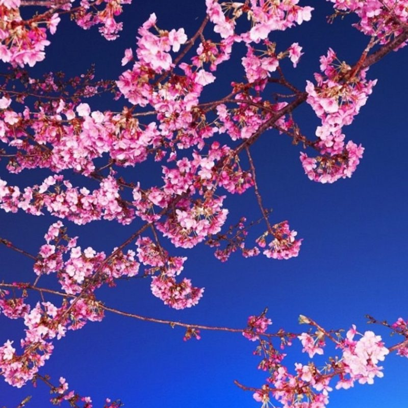 10 Latest Cherry Blossoms Iphone Wallpaper FULL HD 1080p For PC Desktop 2020 free download new anime cherry blossom iphone wallpaper collection anime 800x800