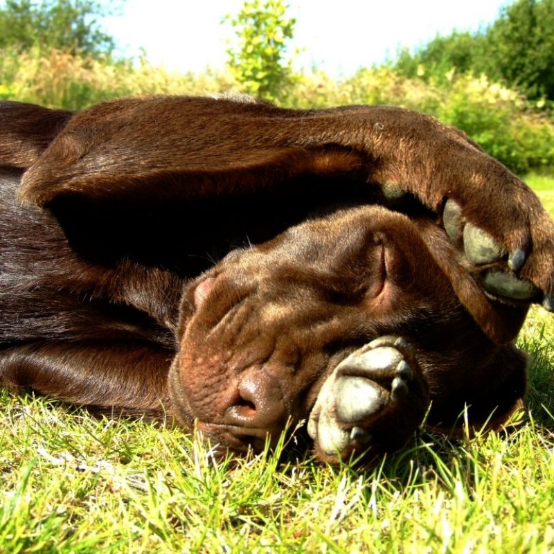 10 New Chocolate Lab Wallpapers FULL HD 1080p For PC Desktop 2020 free download new chocolate lab wallpapers view 767358 wallpapers risewlp 800x800