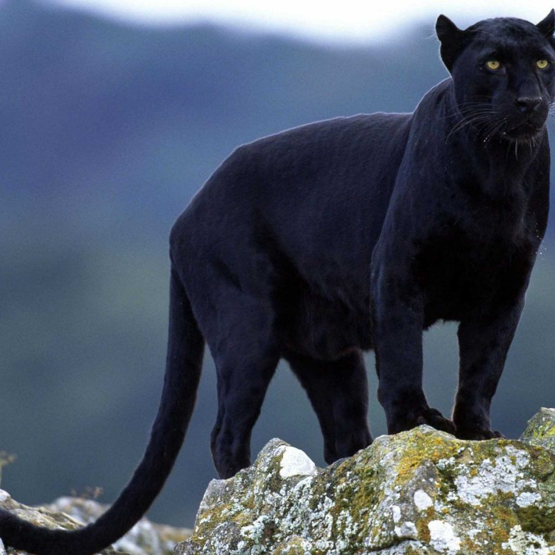 10 Most Popular Image Of Black Jaguar FULL HD 1080p For PC Background 2018 free download new moon action renewal for the earth during the time of the black 800x800