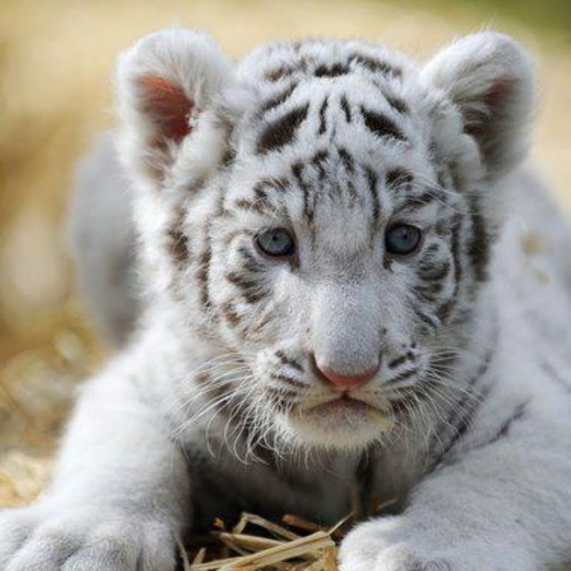 10 Most Popular Pictures Of Baby White Tigers Full Hd 1080p For Pc