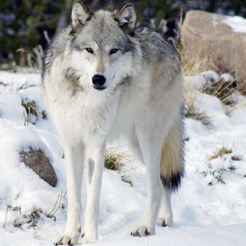 10 Most Popular Pictures Of A Timber Wolf FULL HD 1080p For PC Desktop 2018 free download northwestern wolf wikipedia 800x800
