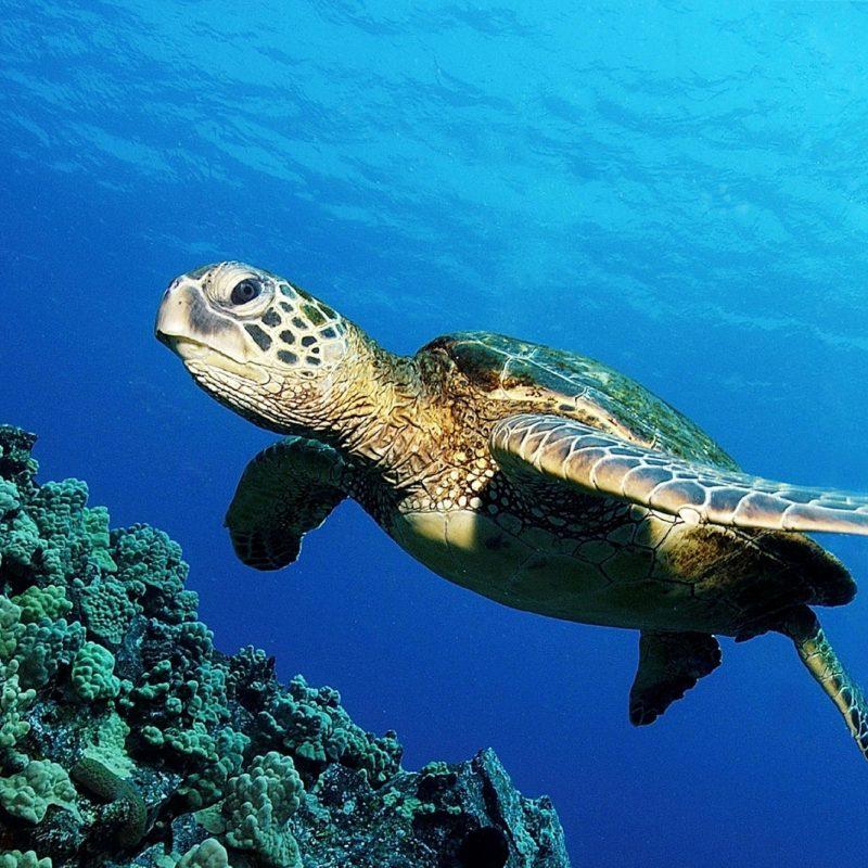 10 Best Sea Turtle Hd Wallpaper FULL HD 1080p For PC Background 2021 free download ocean turtle hd wallpaper hd wallpapers 800x800