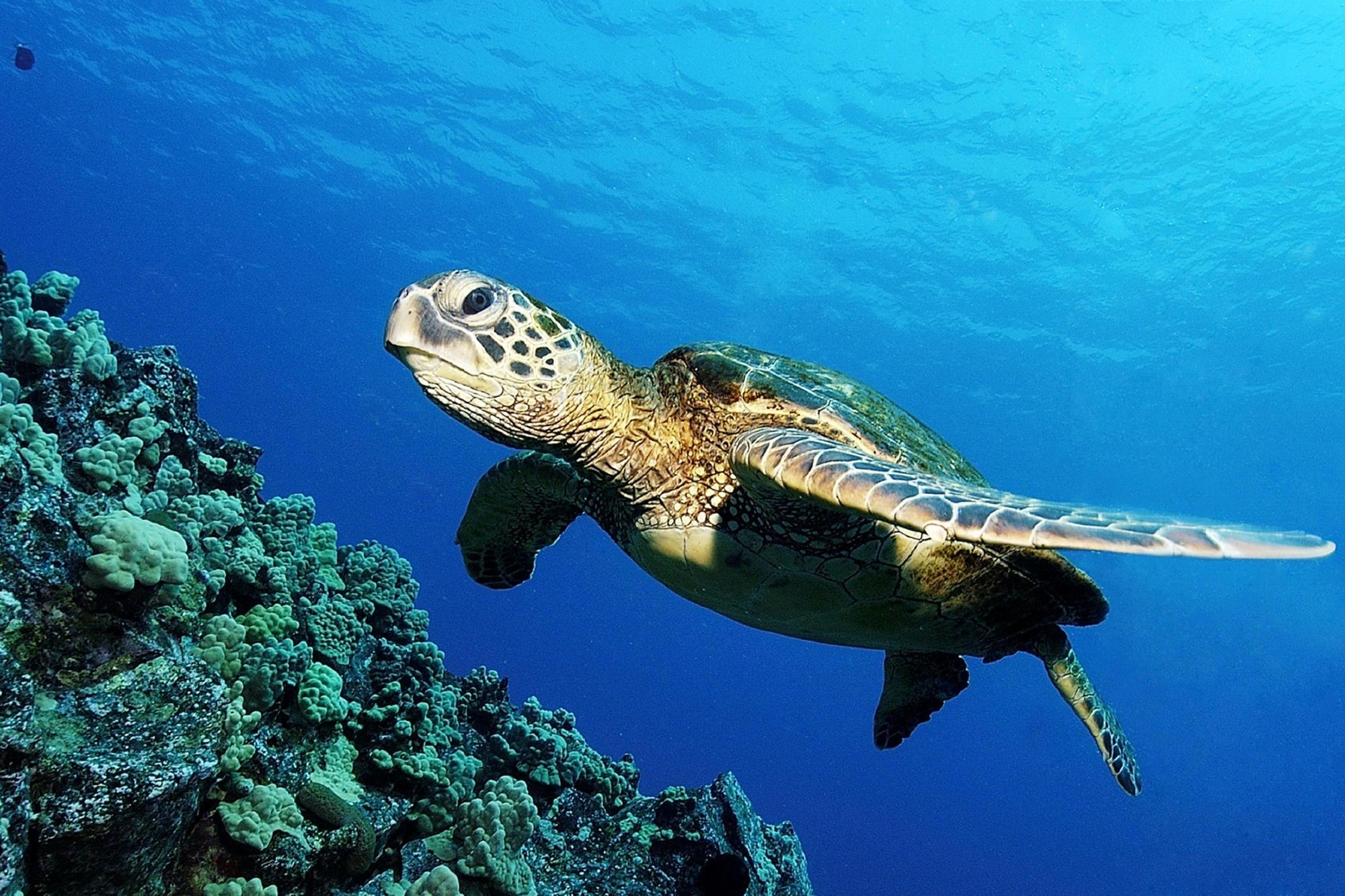 ocean turtle hd wallpaper | hd wallpapers
