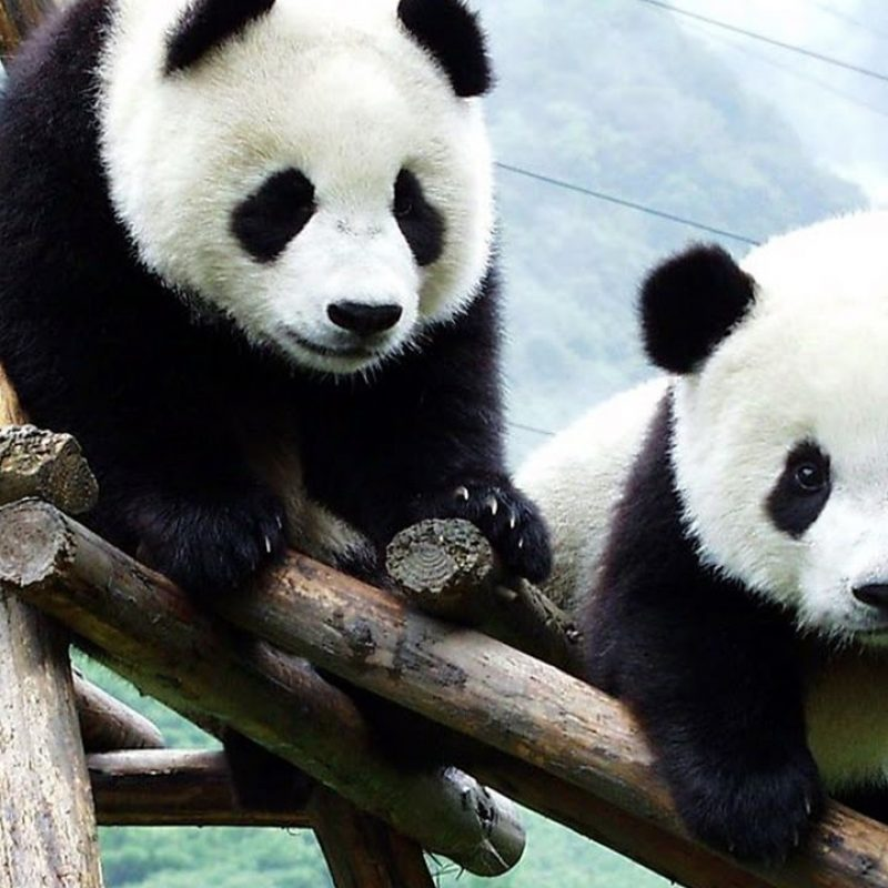 10 Best Cute Baby Panda Images FULL HD 1920×1080 For PC Background 2018 free download omg so cute baby panda playing youtube 800x800