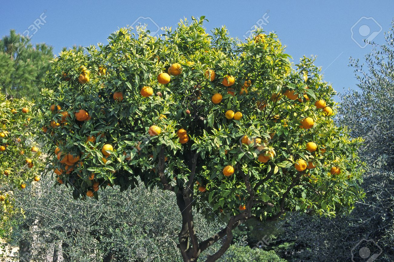 orange tree, diano castello, italy stock photo, picture and royalty