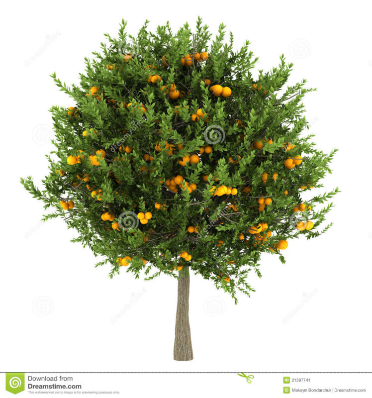 10 Best Orange Tree Pictures FULL HD 1080p For PC Background 2018 free download orange tree isolated on white stock image image of stem isolated 748x800