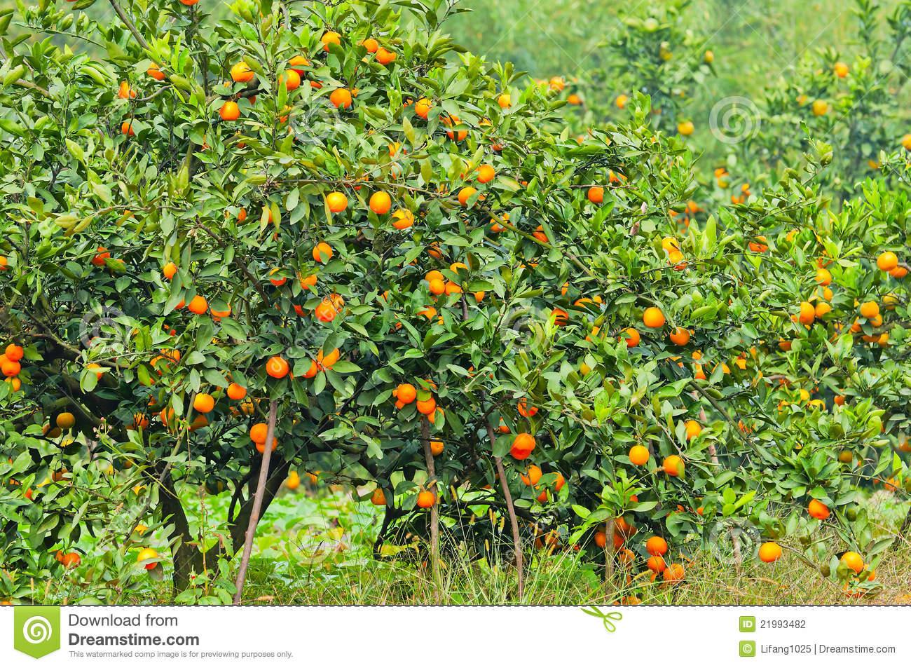 orange tree stock photo. image of bonsai, green, abundance - 21993482