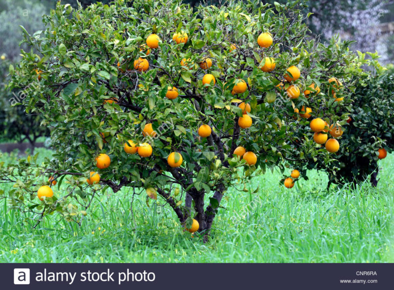 10 Best Orange Tree Pictures FULL HD 1080p For PC Background 2018 free download orange tree stock photos orange tree stock images alamy 800x588