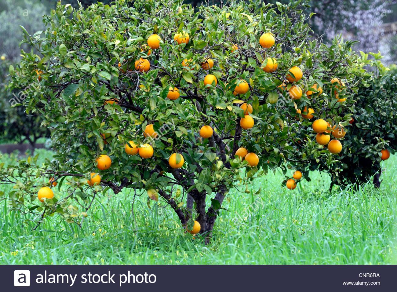 orange tree stock photos & orange tree stock images - alamy