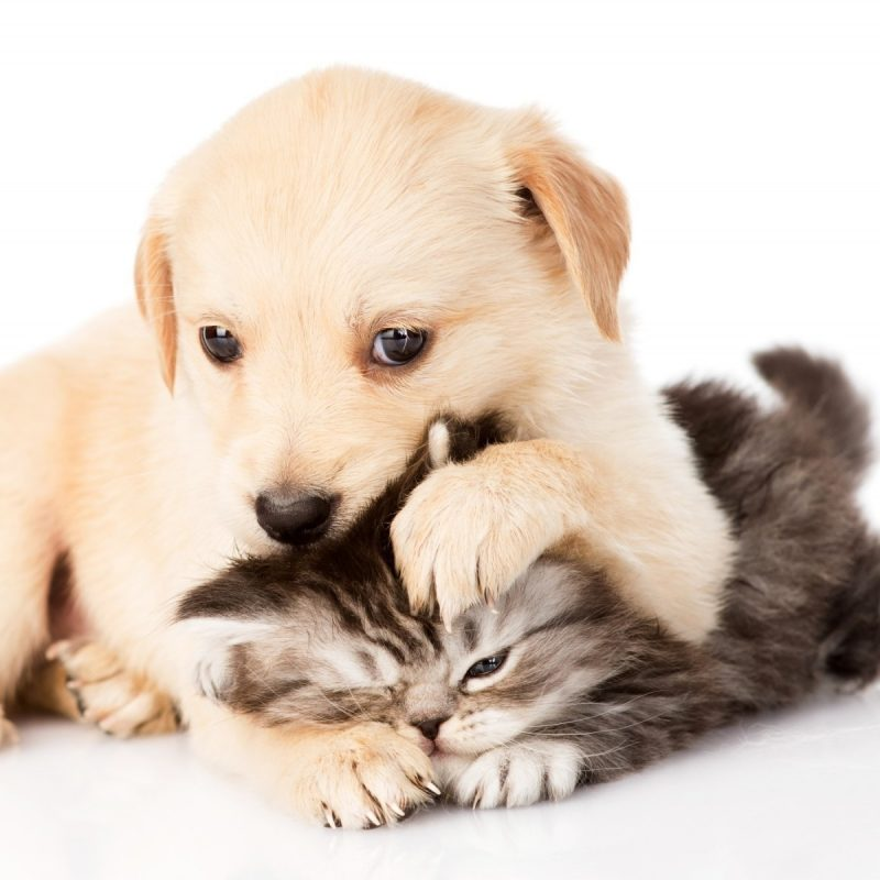 10 Latest Puppy And Kitten Backgrounds FULL HD 1920×1080 For PC Desktop 2018 free download other animal puppy worry kitty cat dont kitten dog background 800x800