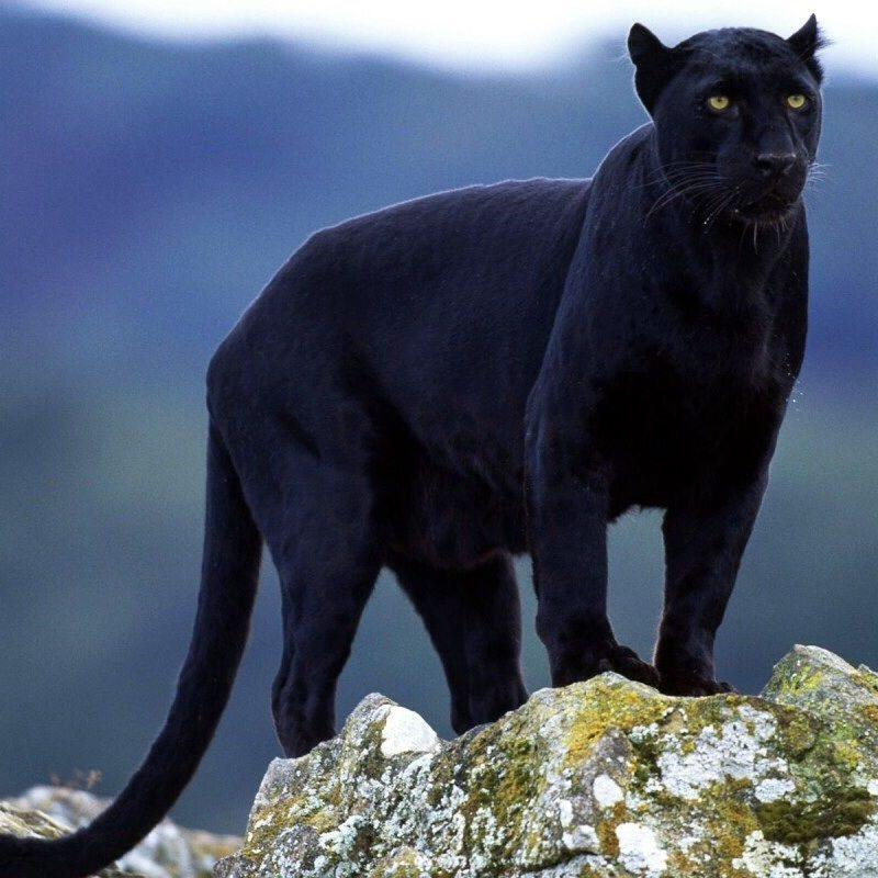 10 Best Pictures Of Black Jaguars FULL HD 1080p For PC Desktop 2018 free download panther black jaguar surveys his domain jumping jaguars 800x800