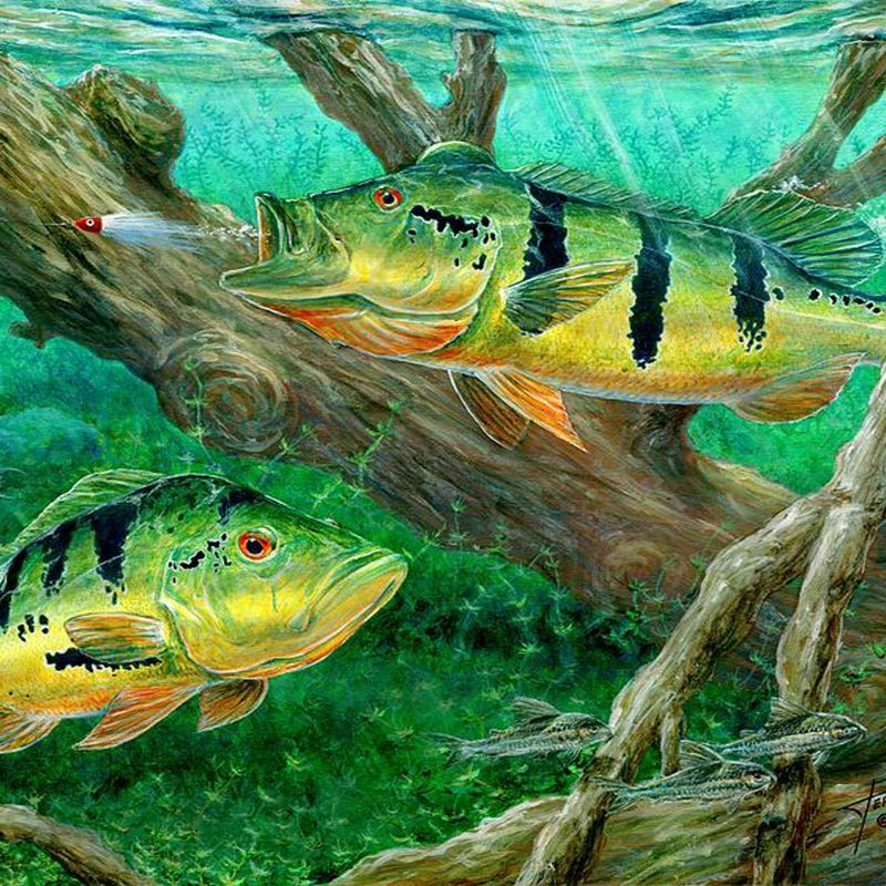 10 Latest Bass Fishing Wallpaper Hd FULL HD 1080p For PC Desktop 2021 free download peacock bass fishing on canvas wallpaper hd wallpapers13 800x800