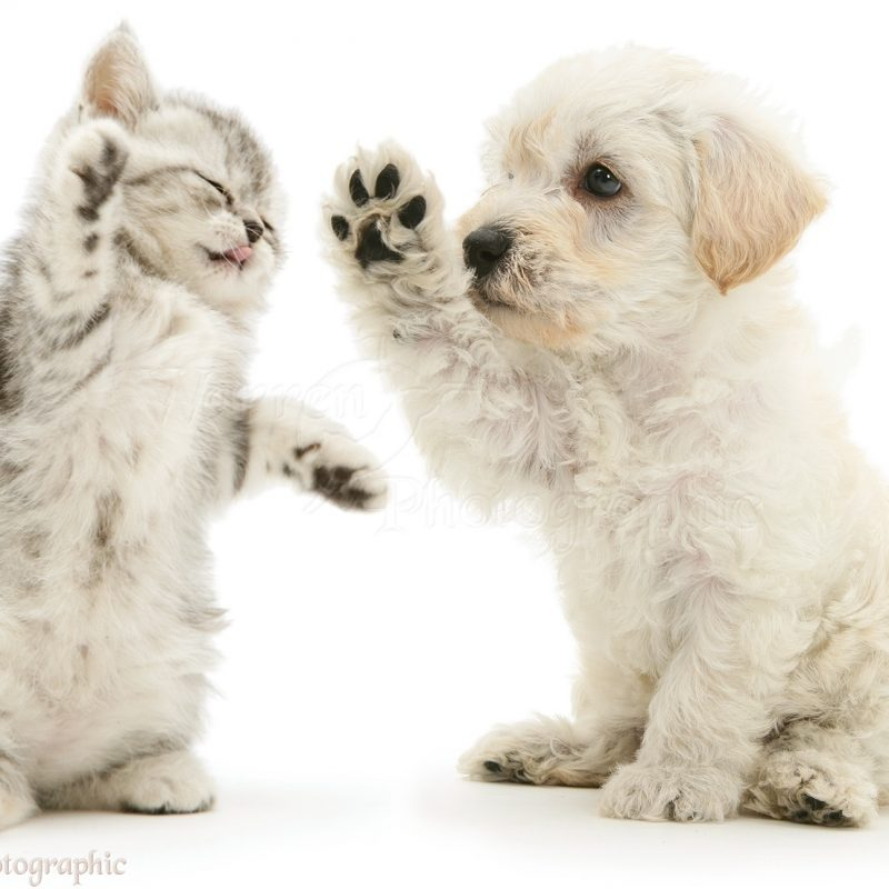 10 Latest Puppy And Kitten Backgrounds FULL HD 1920×1080 For PC Desktop 2018 free download pets woodle puppy and kitten boxing photo wp16066 800x800