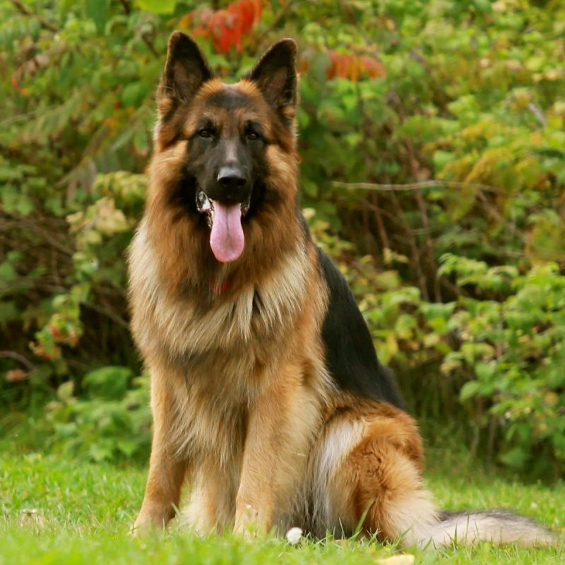 10 Most Popular German Shepherd Dog Images Hd FULL HD 1920×1080 For PC Background 2020 free download pics german shepherd dogs wallpaper 800x800