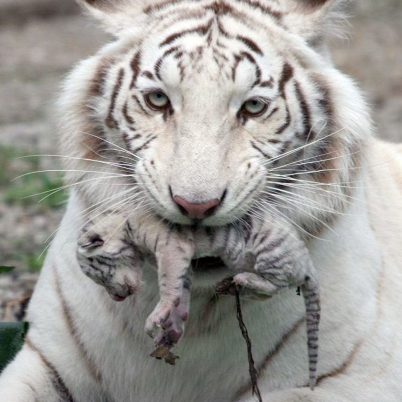 10 Most Popular Pictures Of Baby White Tigers FULL HD 1080p For PC Desktop 2021 free download picture 1 of 2 kiev ukraine a beautiful white tiger that became 800x800