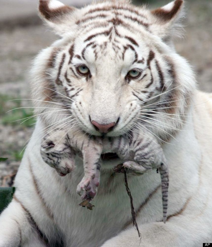 picture #1 of 2 kiev, ukraine -- a beautiful white tiger that became