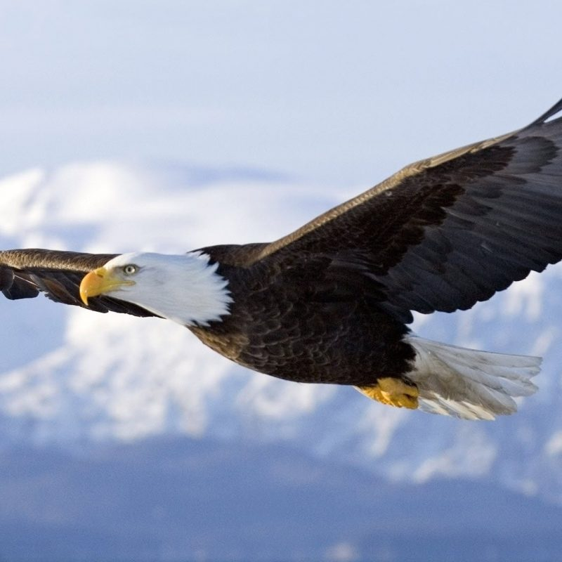 10 Best Flying Eagle Wallpaper Desktop FULL HD 1080p For PC Background 2018 free download pictures of eagle flying flying eagle wallpaper 1920x1080 236 kb 800x800