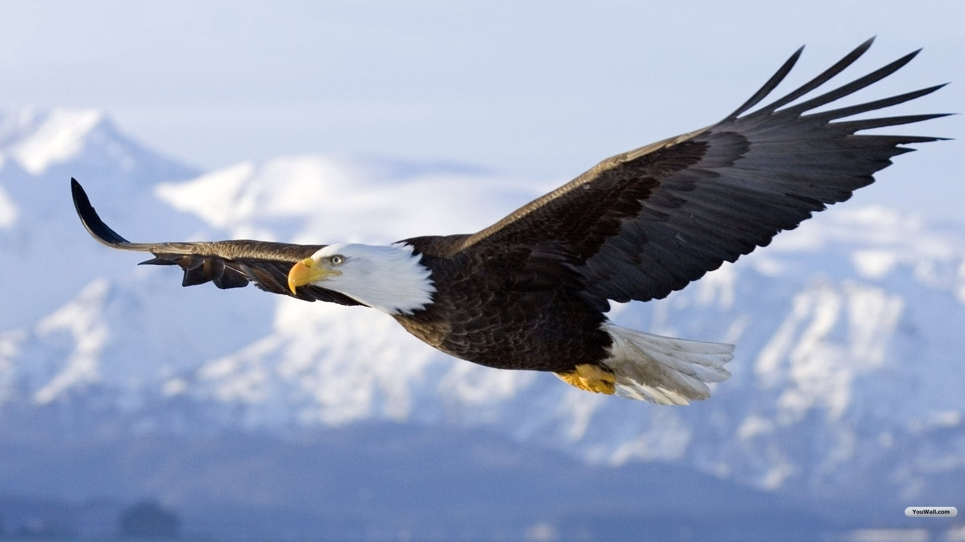 pictures of eagle flying | flying eagle wallpaper 1920x1080 (236 kb