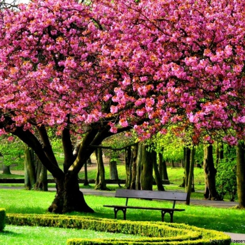 10 Latest Spring Trees Wallpaper Desktop FULL HD 1080p For PC Desktop 2020 free download pinjoyce knight on a trees pinterest blossom trees 800x800