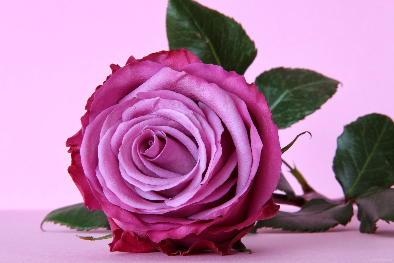 pink and purple rose wallpapers - keywords here