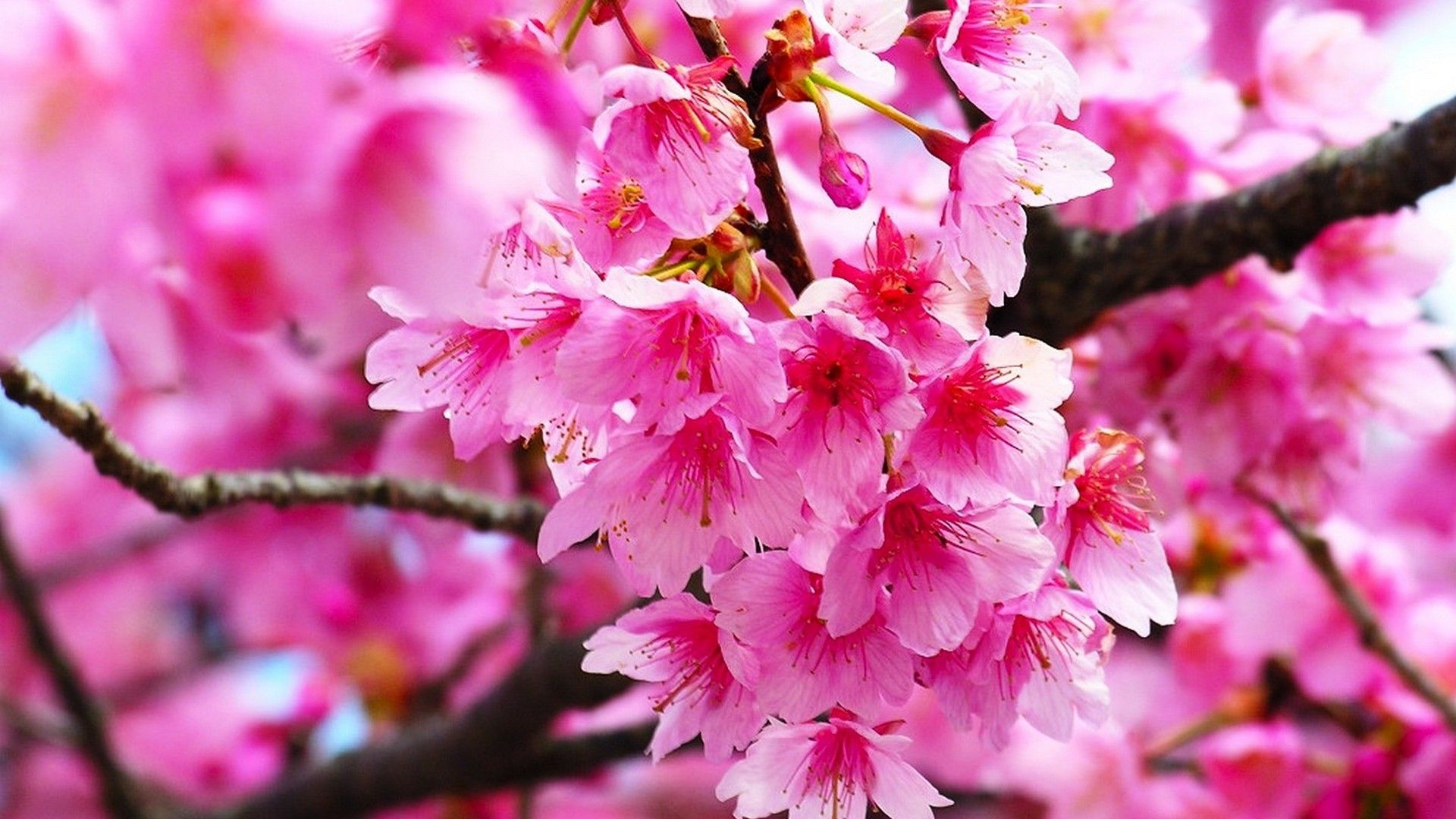 pink cherry blossom wallpaper hd | best hd wallpapers