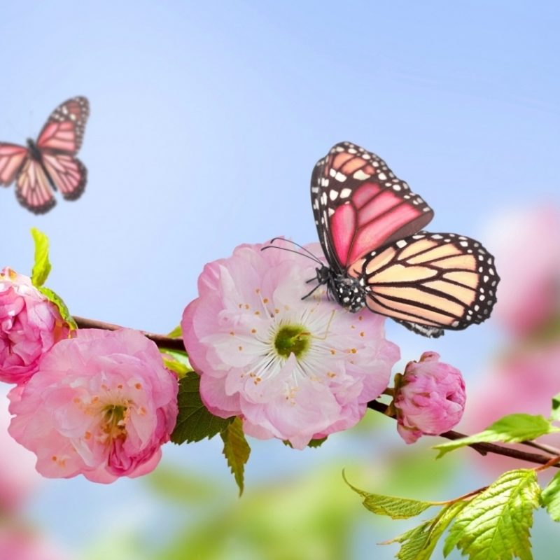 10 Latest Flowers And Butterflies Wallpaper FULL HD 1080p For PC Desktop 2021 free download pink flowers blooms and butterfly wallpaper butterflies 800x800
