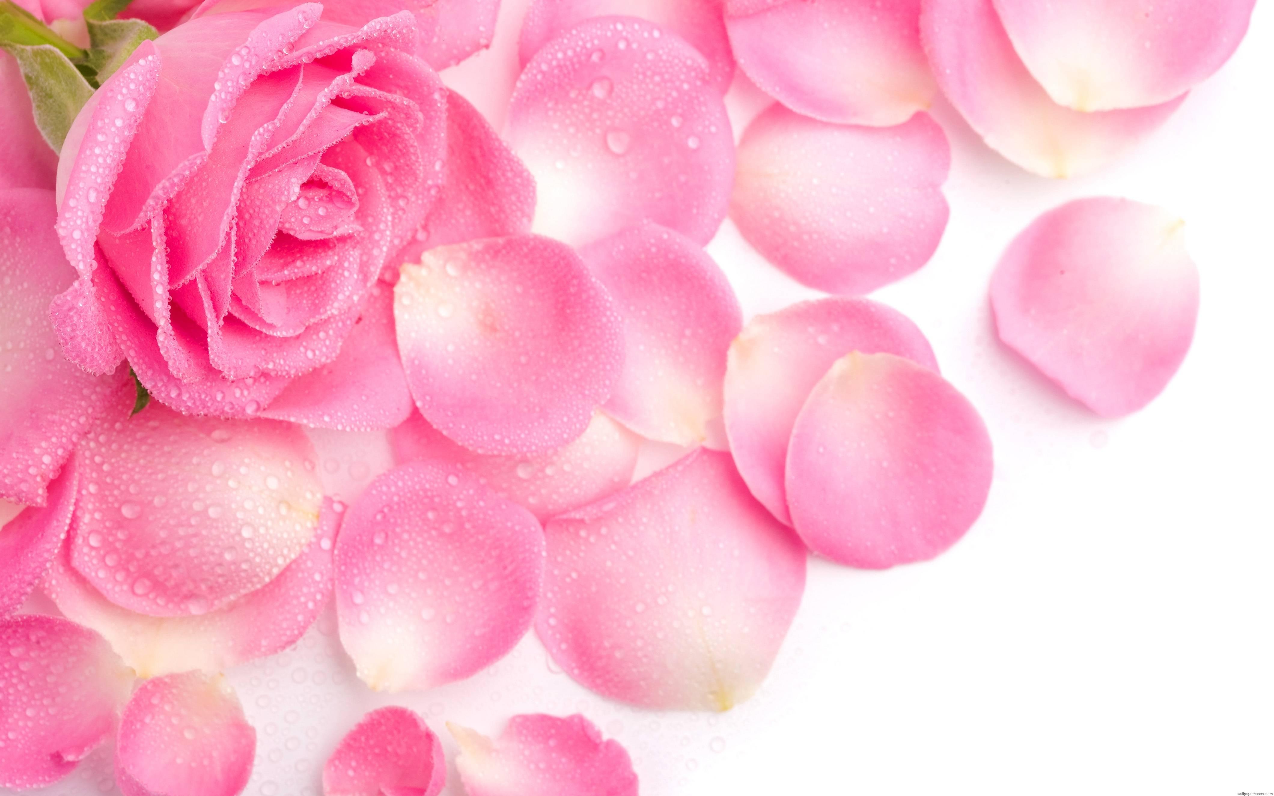 pink rose background wallpaper 07151 - baltana