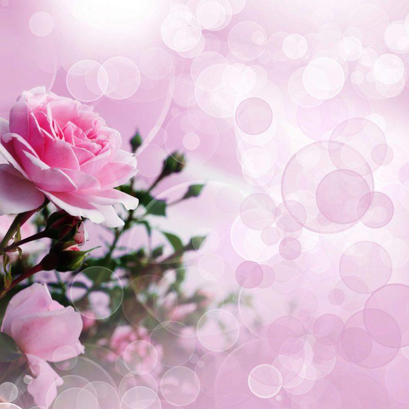 10 Best Pink Rose Background Wallpaper FULL HD 1920×1080 For PC Desktop 2018 free download pink rose wallpaper 800x800