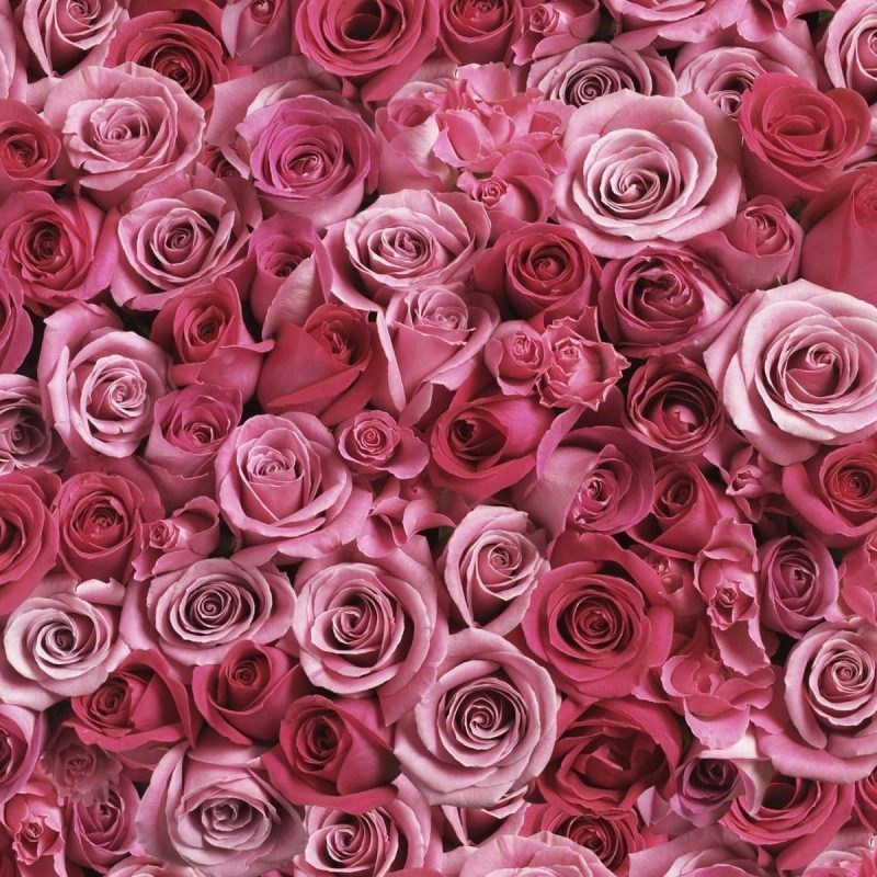 10 Most Popular Pink Rose Desktop Wallpaper FULL HD 1080p For PC Background 2018 free download pink rose wallpaper desktop background desktop wallpaper box 800x800