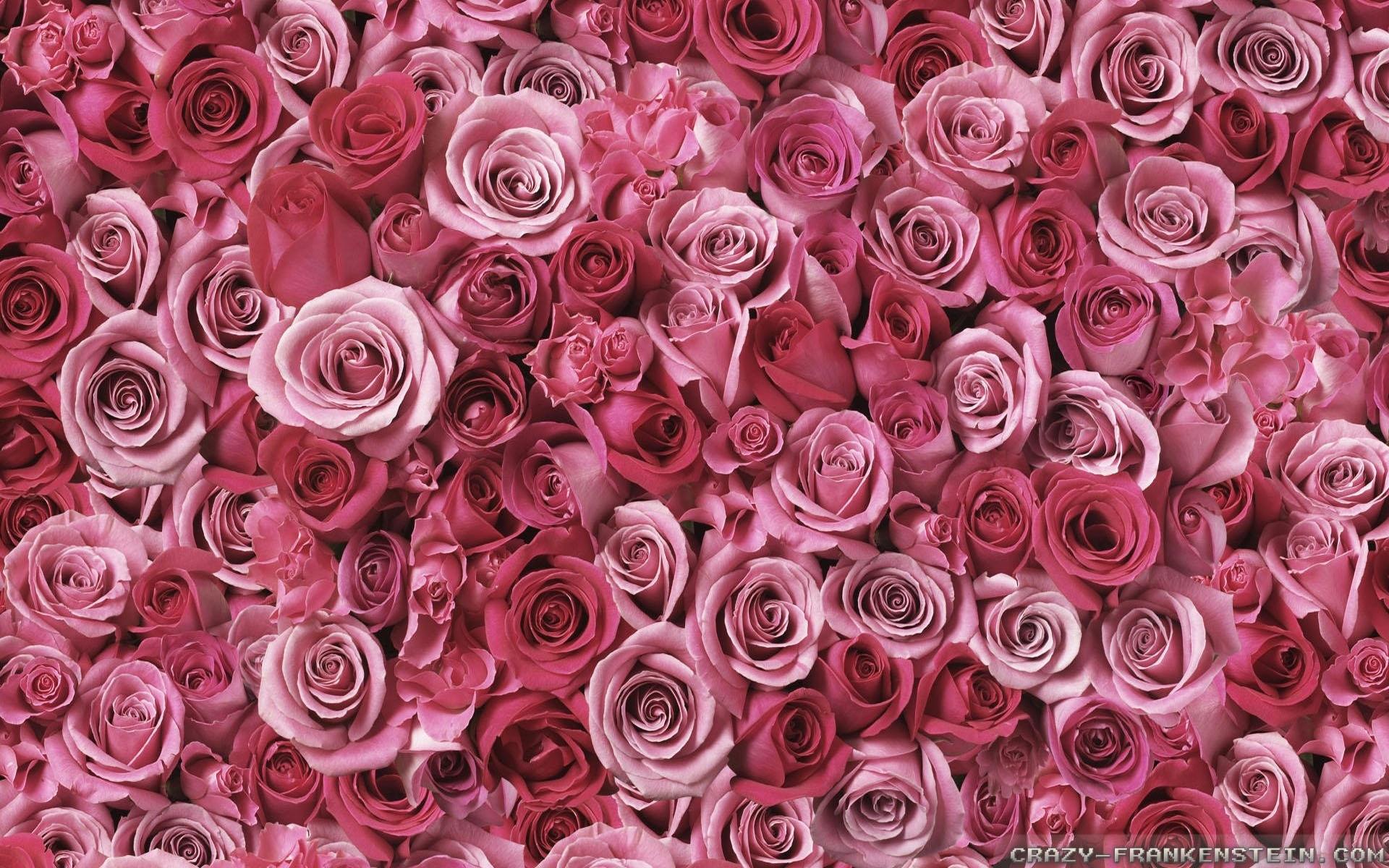 pink rose wallpapers 2 - crazy frankenstein