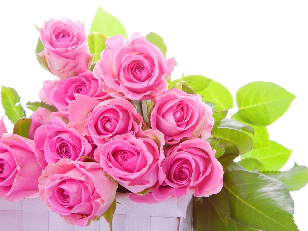 pink rose wallpapers hd pictures | flowers – one hd wallpaper