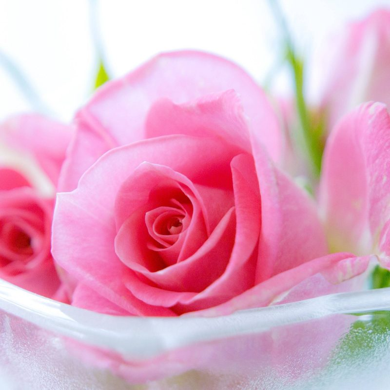 10 Best Pink Rose Background Wallpaper FULL HD 1920×1080 For PC Desktop 2018 free download pink rose wallpapers images desktop wallpaper box 800x800