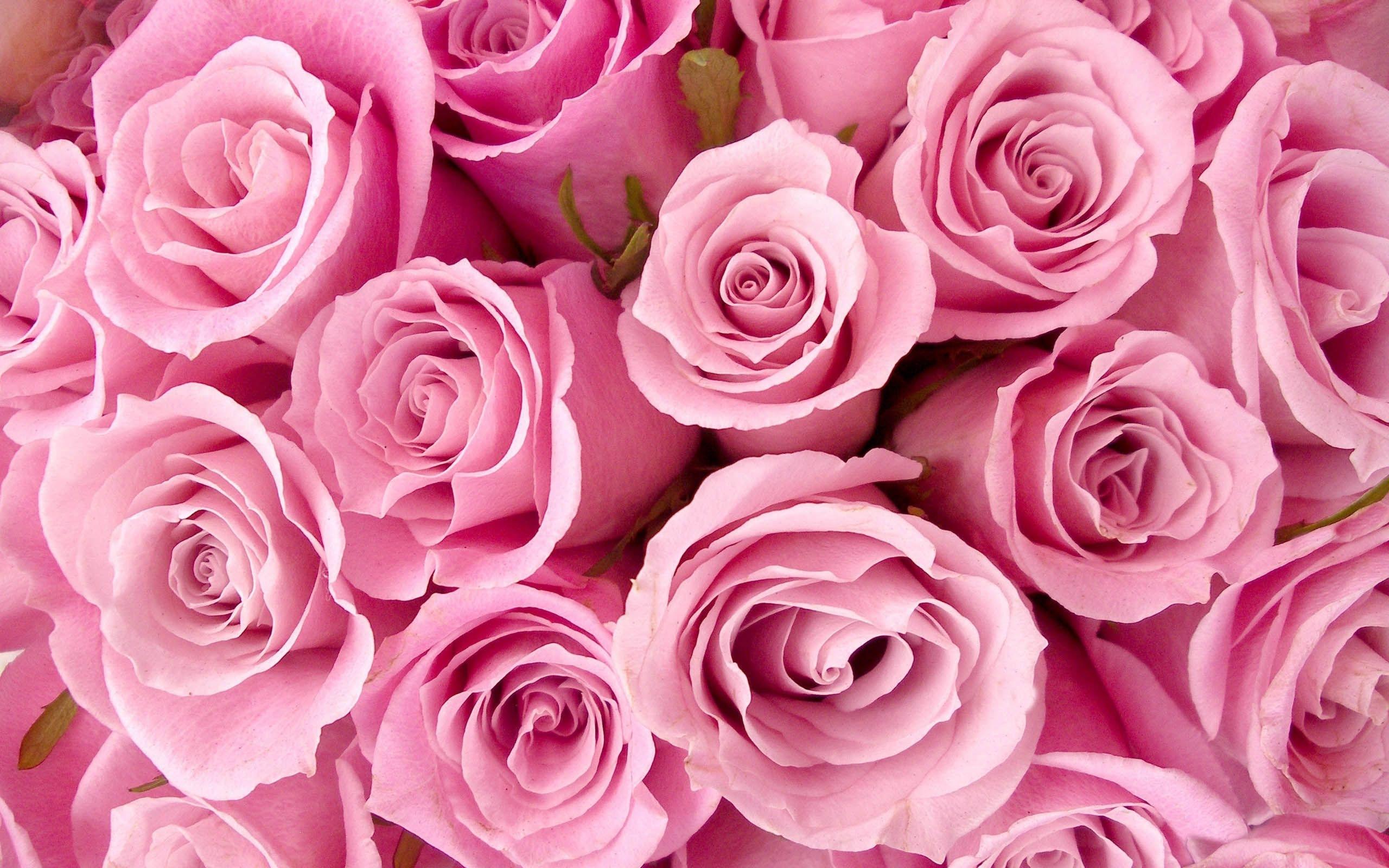 pink roses background wallpaper pink rose backgrounds - wallpaper