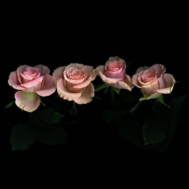 10 Latest Roses On Black Background FULL HD 1080p For PC Background 2018 free download pink roses on black background photographphotographmagda indigo 800x800