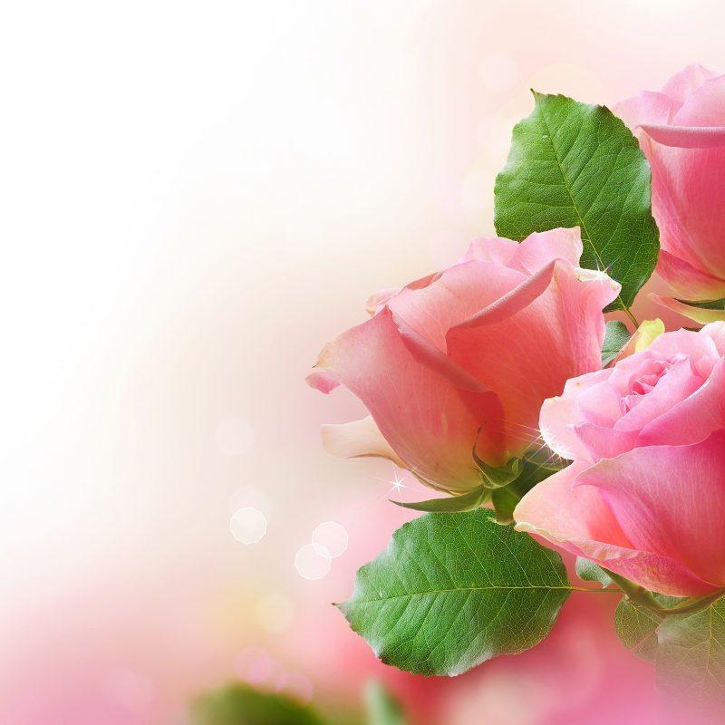10 Best Pink Rose Background Wallpaper FULL HD 1920×1080 For PC Desktop 2018 free download pink roses wide background wallpaper download hd pink roses wide 800x800