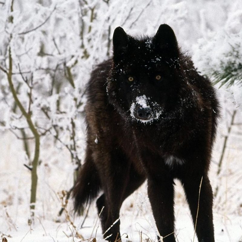 10 Latest Black Wolf Wallpaper Hd FULL HD 1920×1080 For PC Desktop 2018 free download pinkira nerys on wallpapers pinterest wolf hd wallpaper and 800x800