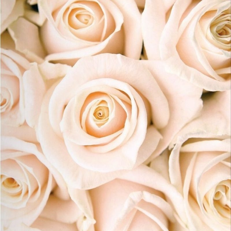 10 New White Roses Background Tumblr FULL HD 1920×1080 For PC Background 2018 free download pinsonia woods on colour peaches pinterest ana rosa 800x800