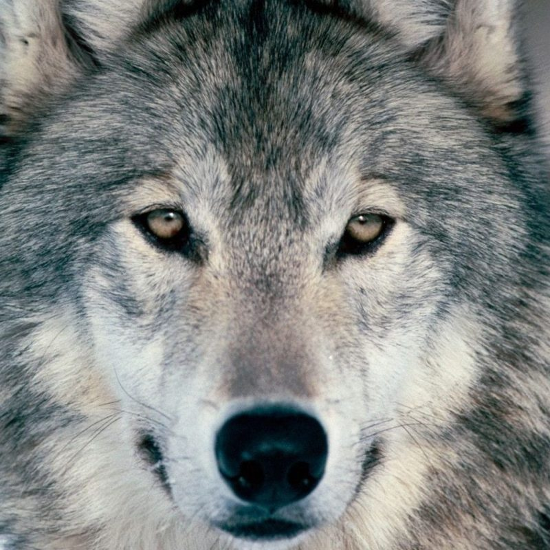 10 Most Popular Grey Wolf Wallpaper 1920X1080 FULL HD 1920×1080 For PC Desktop 2018 free download pinwolf lover shop on hd photos of wolves pinterest wolf 800x800