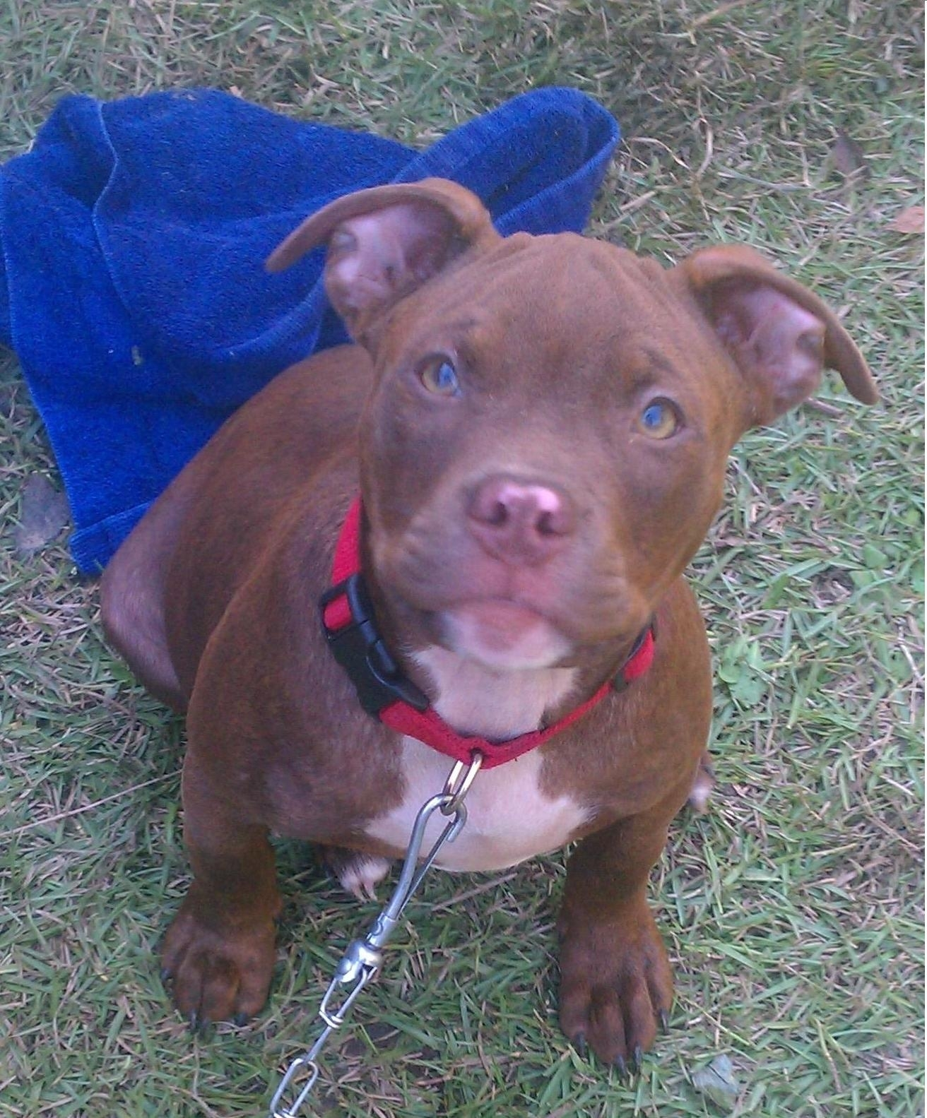 pitbull brown with blue eyes | happy things | pinterest | blue eyes