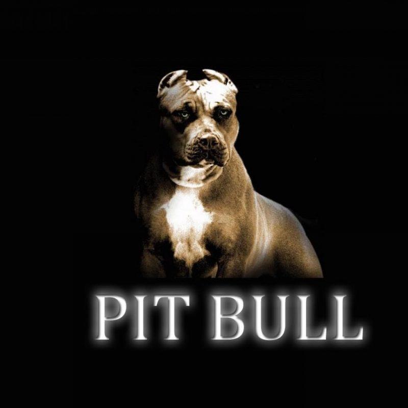 10 Best Pit Bull Screen Savers FULL HD 1080p For PC Background 2018 free download pitbull dog wallpaper http whatstrendingonline pitbull dog 800x800