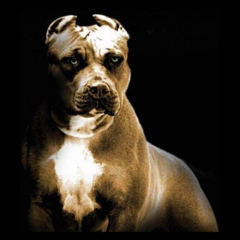 10 Best Pit Bull Screen Savers FULL HD 1080p For PC Background 2018 free download pitbull dog wallpapers wallpaper cave 1 800x800